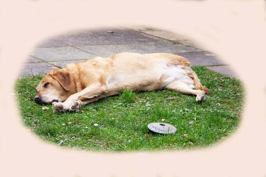 Yellow Labrador asleep on the grass