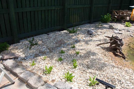 Primulae planted