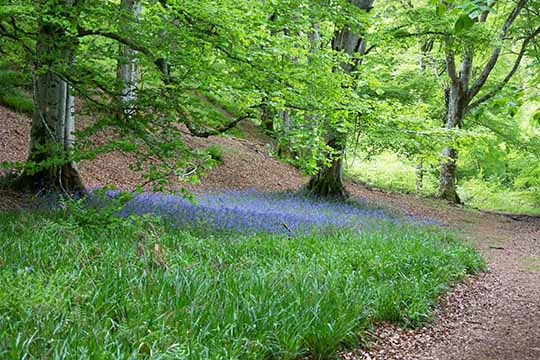 Woodland scene with a patch of bluebells under the beech trees
