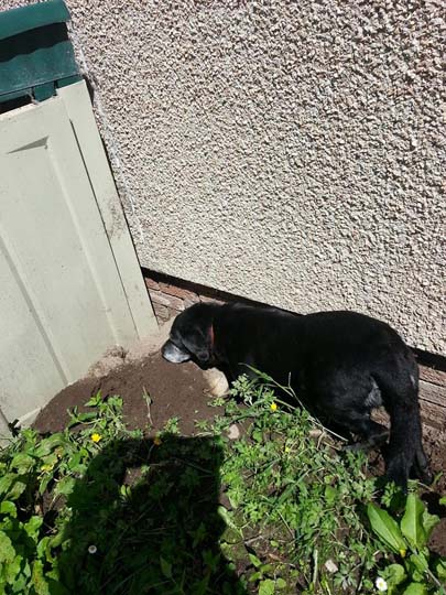 Old black Labrador standing in a hole she's just dug