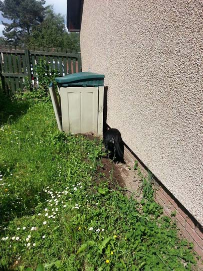 Willows black Labrador friend digging behind a plastic container