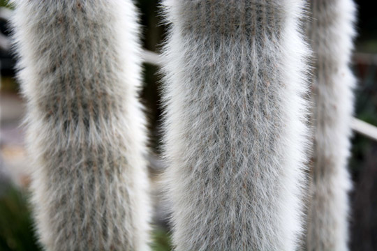 A white, furry, and fluffy looking cactus