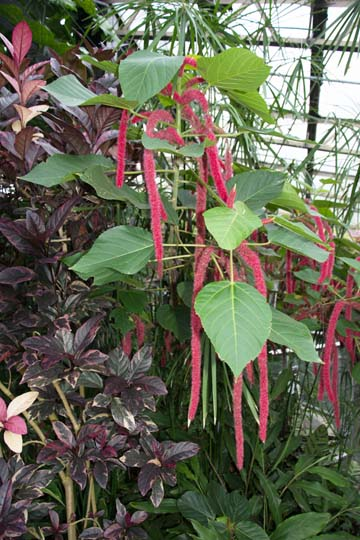 A hanging plant with large green leaves, and red fluffy flowers