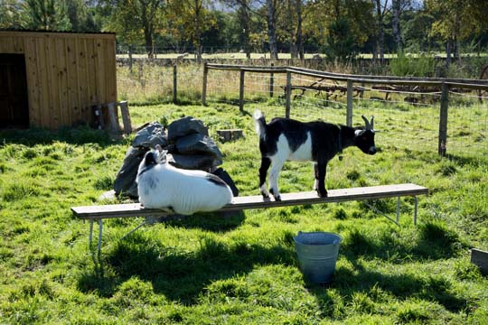a white goat lying on a small bench next to a black and white goats standing on the bench