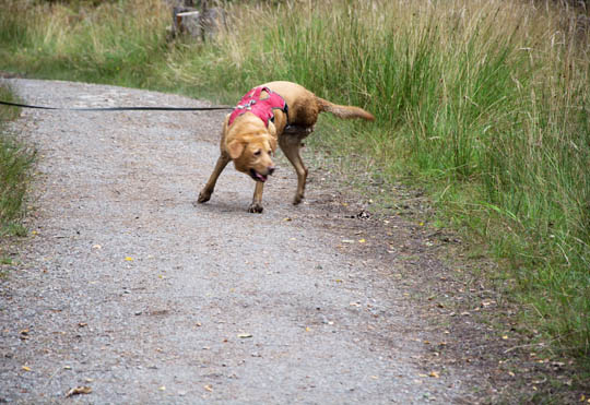 Willow the fox red Labrador turning to go back into mud