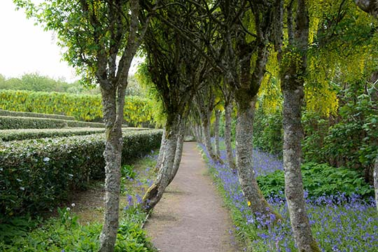 A pathway of laburnum trees at either side, making an archway, with bluebells at ground level