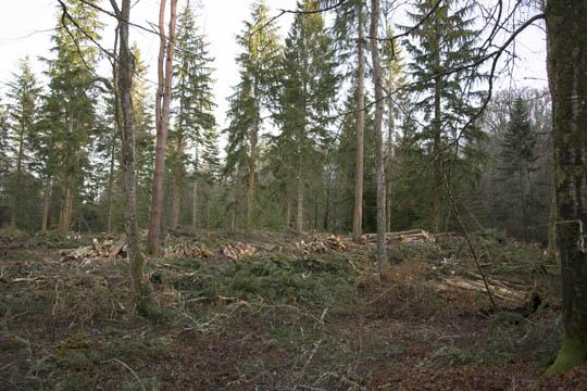 cut logs lying in the woodland