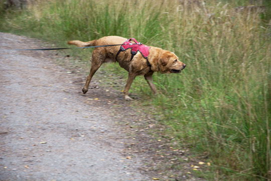Willow the fox red Labrador running off path
