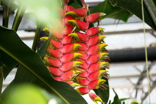 A red plant with yellow ends which also have a green stripe. They remind me of parrot beaks