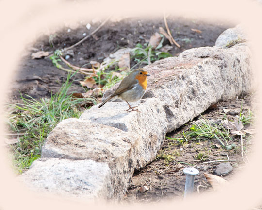 Robin standing on a granite sett. Surround of photo is in beige colour