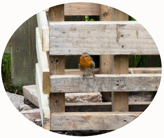 Robin inspecting the new wooden compost structure