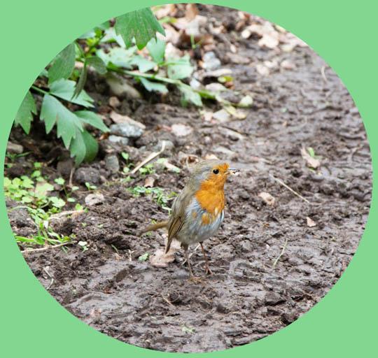 robin with a grub in its beak