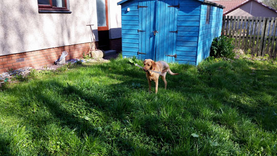 yellow tripawd labrador standing in messy garden - path badly overgrown