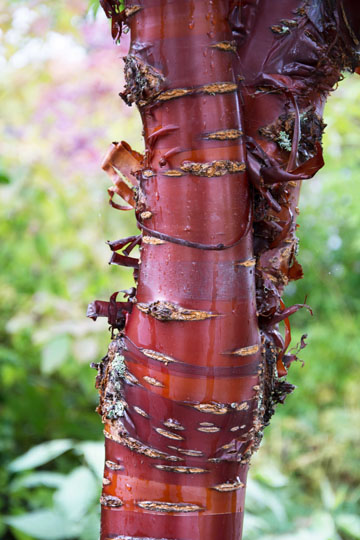 Stunning, glossy red bark