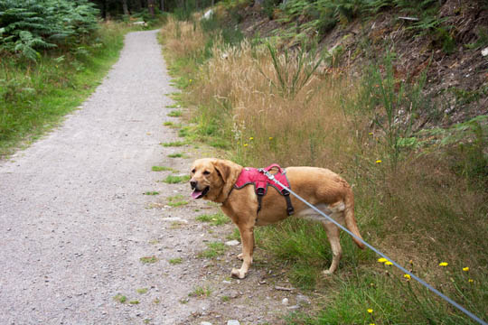 Willow the fox red Labrador at edge of path - she's clean!