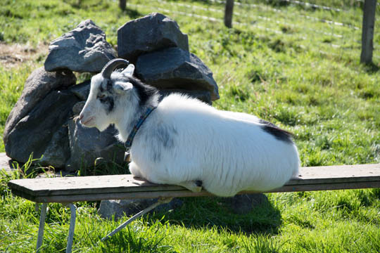 White goat lying on a small wooden bench