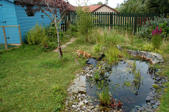 small 3 month old fox red labrador pulling the pond liner from the pond