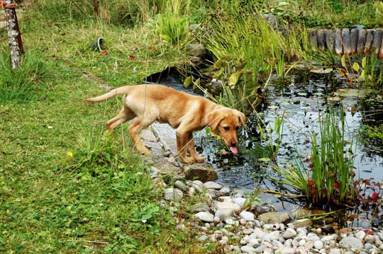 small 3 month old fox red labrador drinking from a pond
