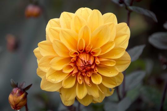 Yellow orange dahlia