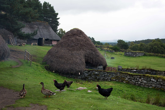 Two ducks and three hens wandering in front of one of the thatched buildings