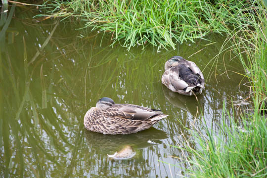 Two ducks on the pond
