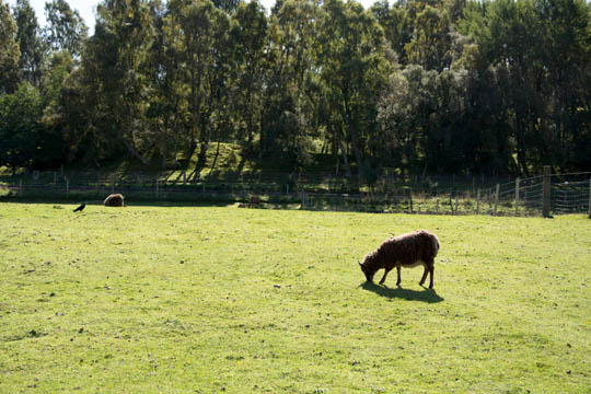 a sheep eating grass