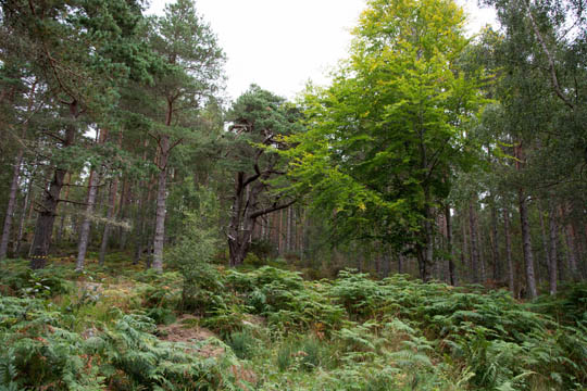 woodland view with bracken in front and trees in background